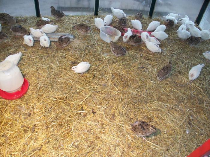 состав корма для перепелов