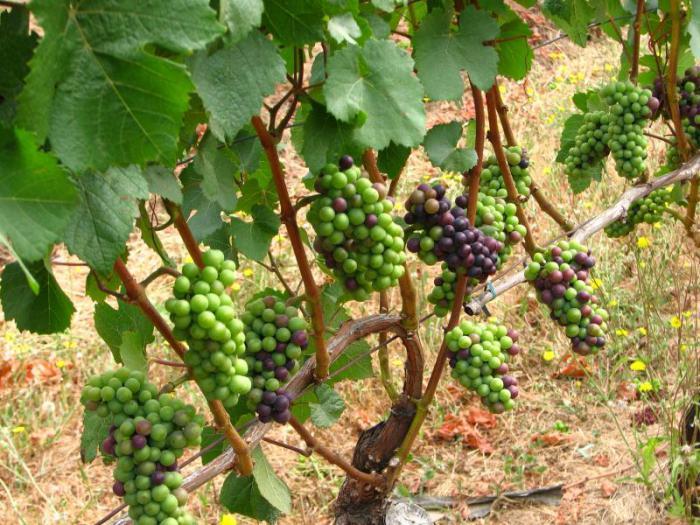 Виноград выращивание и уход в августе 74