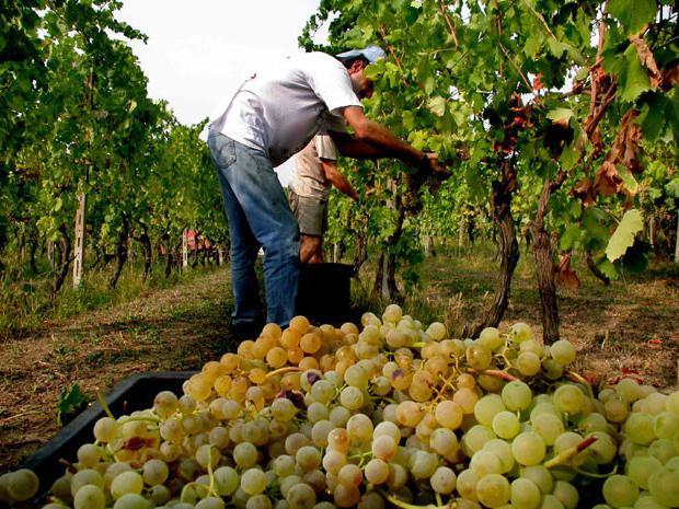 Виноград выращивание и уход в августе 17