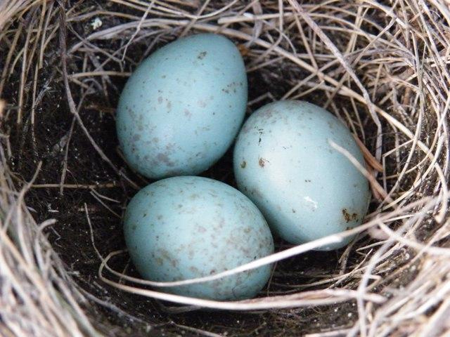 Яйца в крапинку у кого