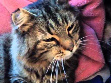 риновирусная инфекция у кошек лечение