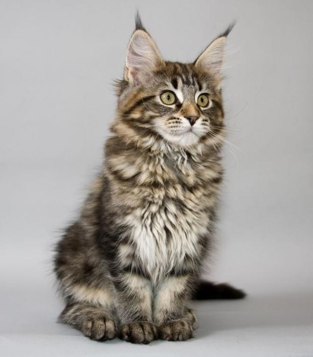 Коты похожие на рысь что за порода