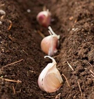 Що можна посадити під зиму на городі