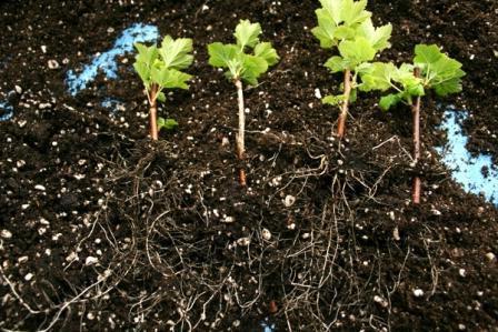 Размножение черной смородины черенками