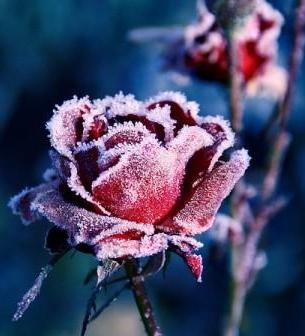 как подготовить к зиме розы