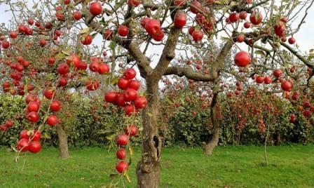 Осенний уход за яблонями