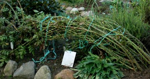 Как укрыть розы плетистые на зиму