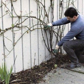Как обрезать на зиму плетистые розы