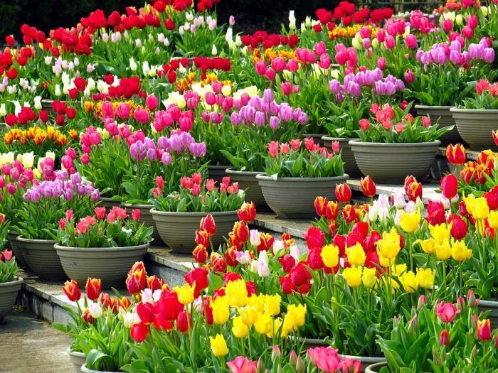 Когда осенью можно пересаживать тюльпаны
