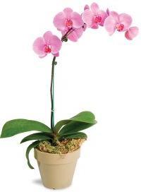 Как начинает цвести орхидея