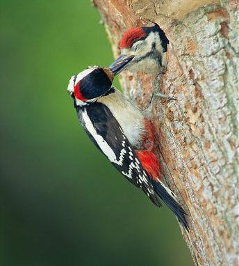 дятел зимующая или перелетная птица