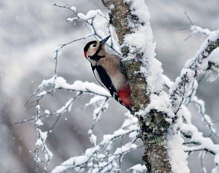 дятел зимующая птица