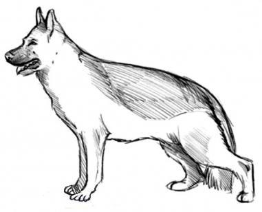 как нарисовать собаку овчарку поэтапно