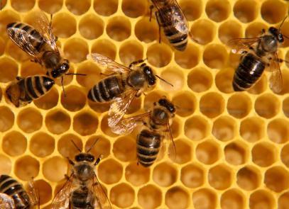 Пчелиный подмор лечебные свойства