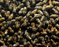 Пчелиный подмор отзывы