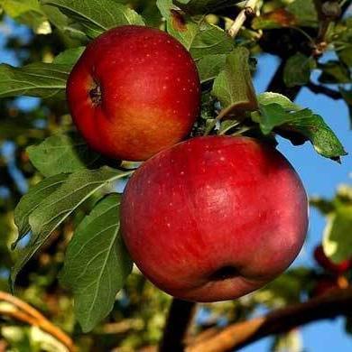 Яблоня апорт