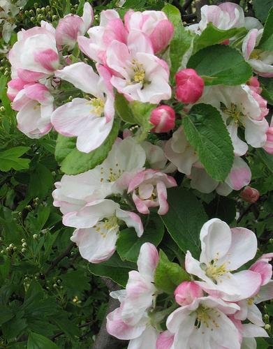 яблуня апорт