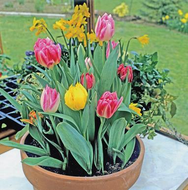 луковицы тюльпанов для выгонки