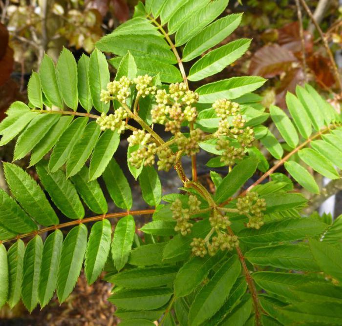 Цвет рябиновых листьев осенью