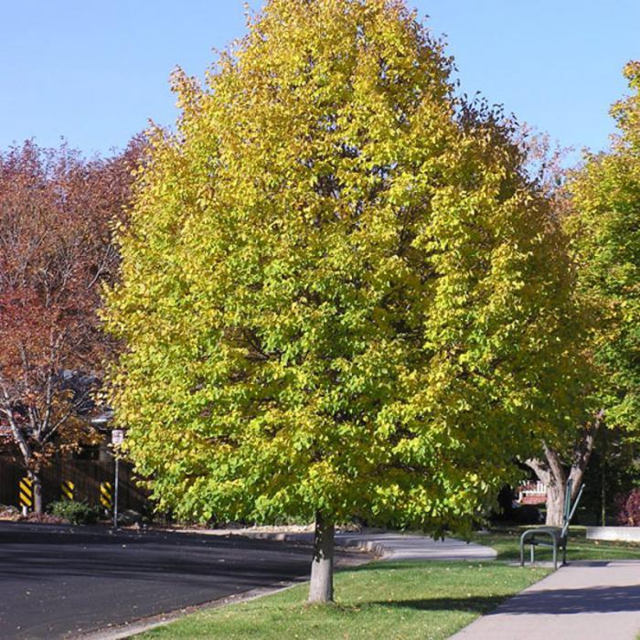 Когда с лип опадают листья