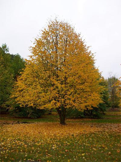 Когда опадают листья у липы