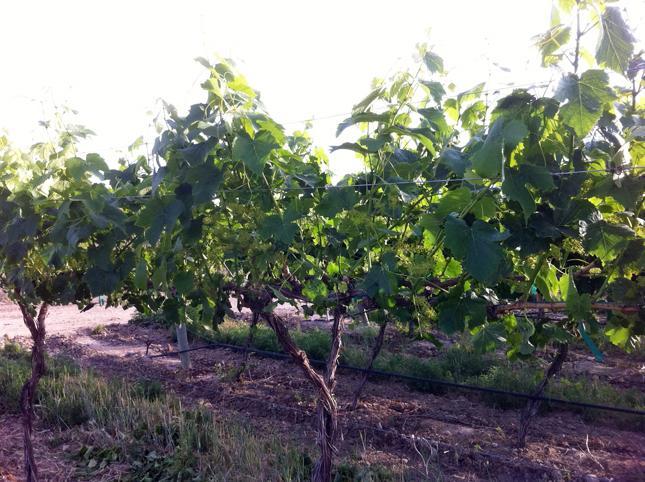 Укрываем виноград