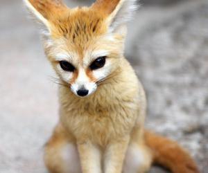 домашние лисы цена