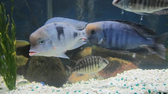 аквариумный голубой дельфин