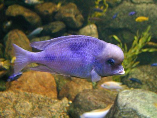 аквариумные рыбки голубые дельфины