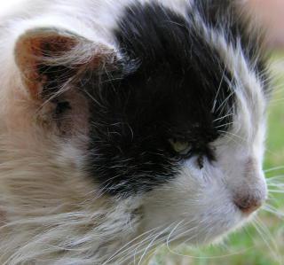 чесотка у кошек