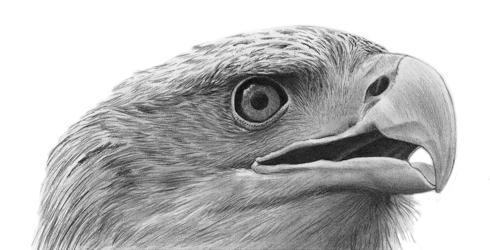 Как нарисовать орла карандашом