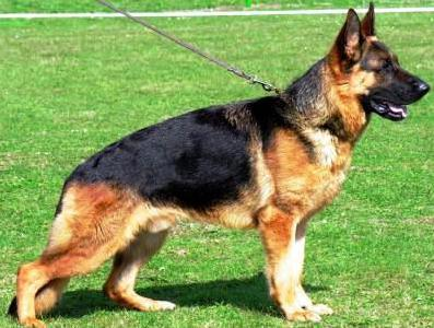 собака кабель или кобель