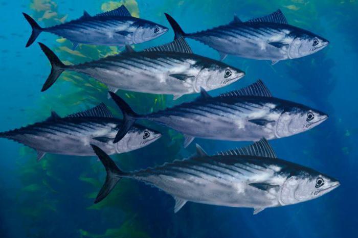 рыбы черного моря пеламида