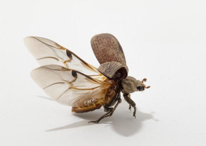 крылья для жука