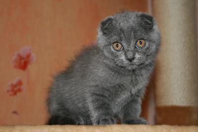 Шотландская кошка описание породы характер