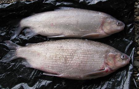 чир рыба