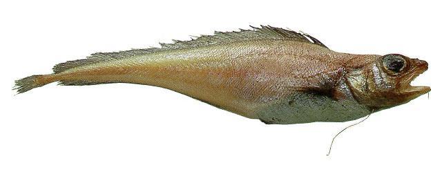лемонема фото рыба