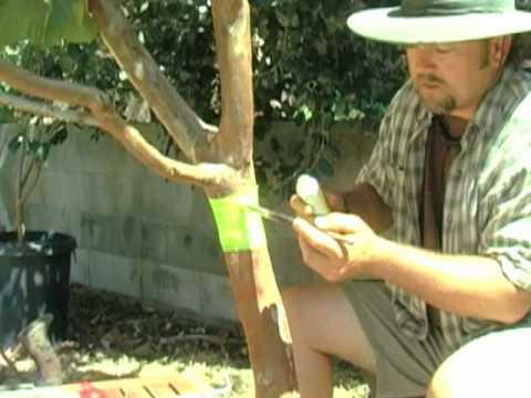 ловчие пояса для яблонь
