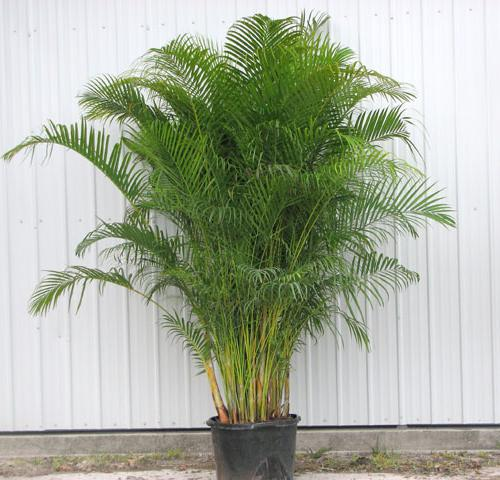 арека пальма уход