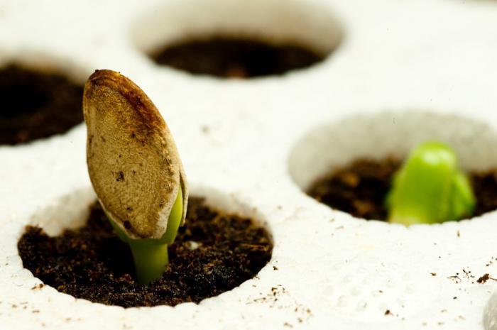 туя вырастить из семян