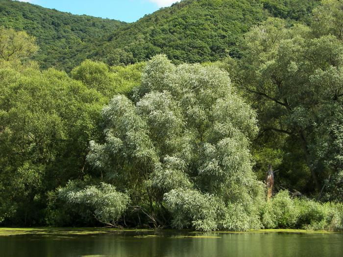 Ветла дерево фото