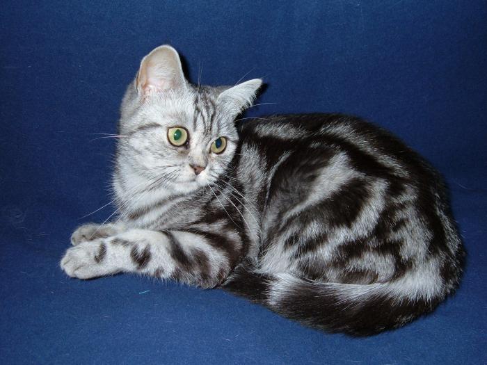 кошка британская мраморная