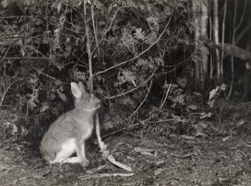 Ловушки на зайцев своими руками