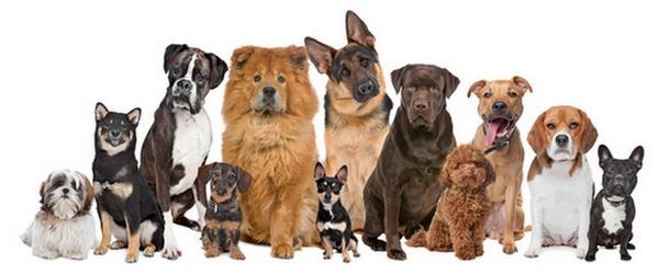 Средние породы собак для квартиры