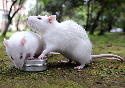 что едят крысы декоративные
