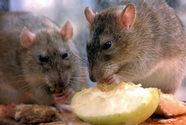 что нельзя есть крысам