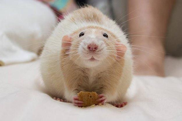 что едят крысы домашние