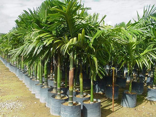 бетелевая пальма или арека катеху