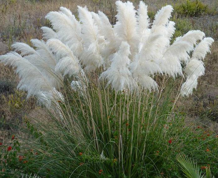 Пампасная трава: украшение вашего участка