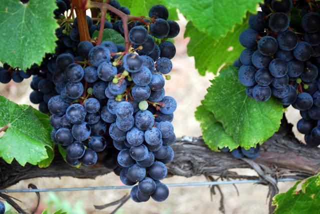 Вино из изабеллы в домашних условиях